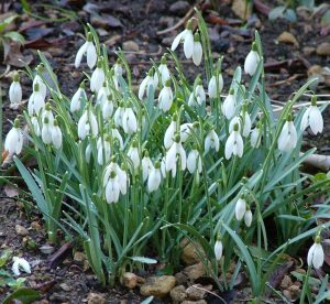 photo of snowdrops